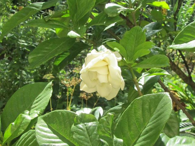 Pianta Gardenia in Primavera