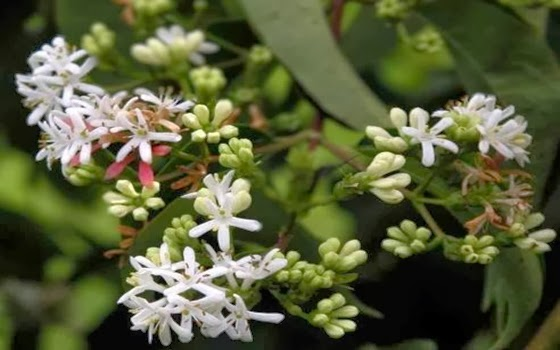 Bunga Seven-Son