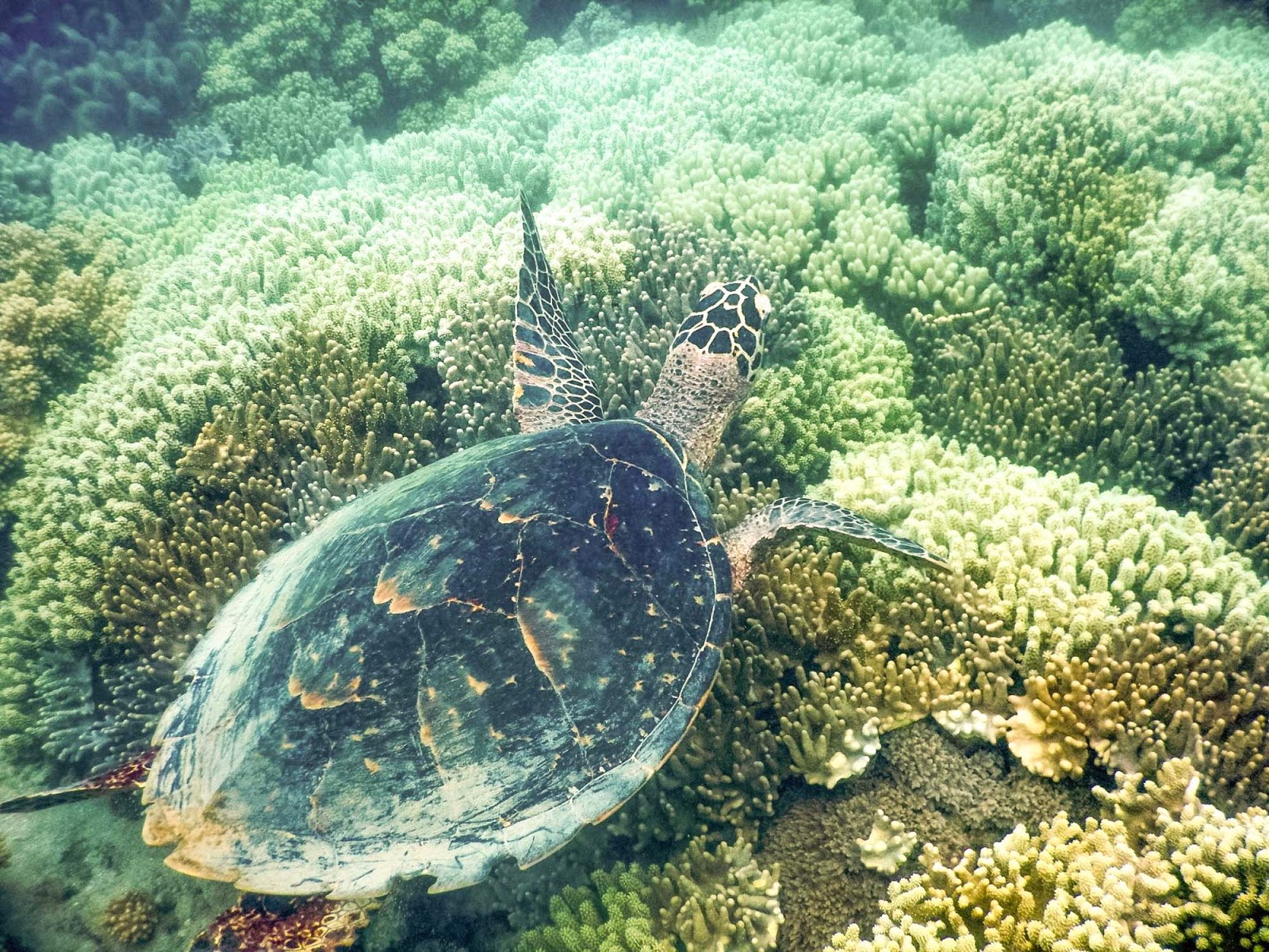 turtle on the great barrier reef
