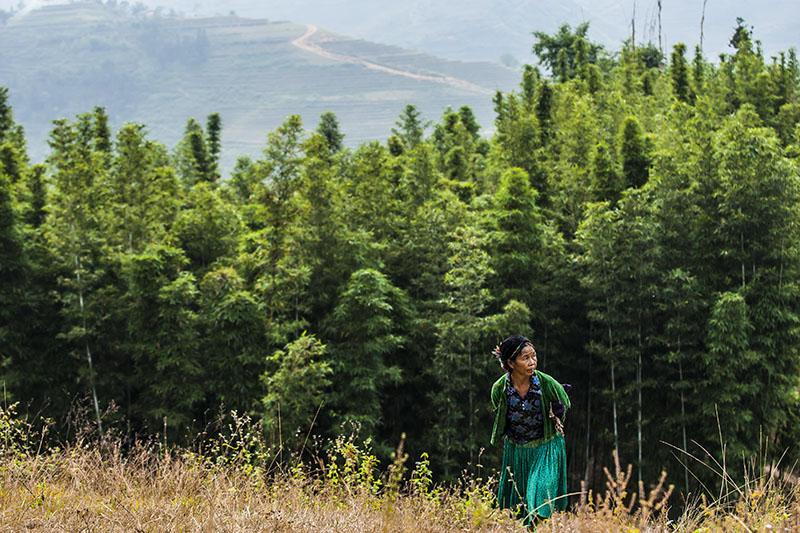 Hình ảnh rừng tre Yên Minh Hà Giang