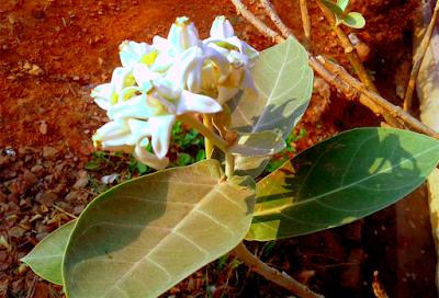 Arka plant grate ayurveda
