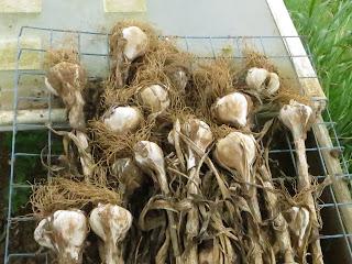 homegrown garlic, valledo