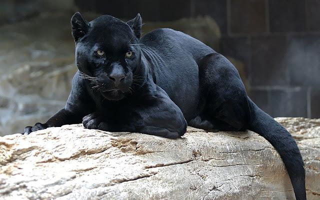 Dieren achtergrond met een zwarte panter