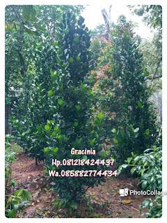 tukang taman murah penjual pohon garcinia dengan harga paling murah