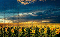 Panoramic sunflower puzzle