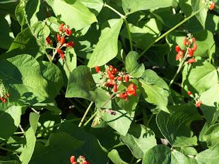 Phaseolus coccineus 'Scarlet runner bean' - Phaséole