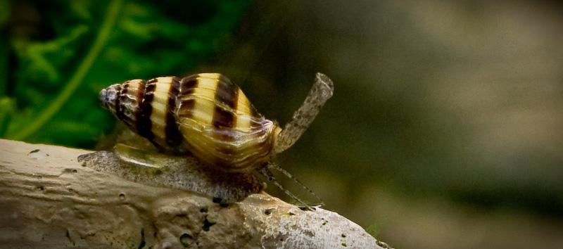 Ốc ăn ốc - Helena trong hồ thủy sinh