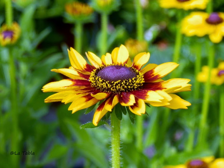 Flor tipo margarita en amarillo y ojo negro