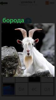 Среди камней стоит козел, у которого красивая борода и рога