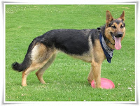 German Shepherd Animal Pictures