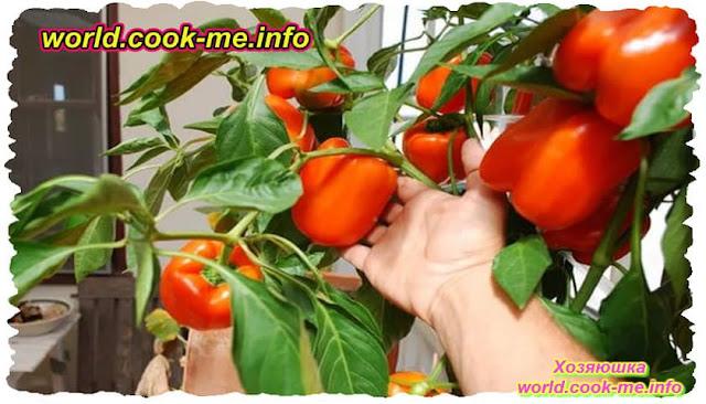 Как выращивать сладкий перец круглый год в квартире ?
