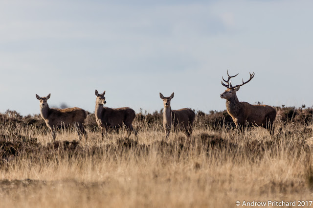 A group of three hinds standing in grass and heather with a stag.