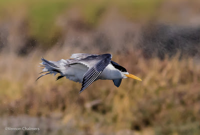 Swift tern in flight : Woodbridge Island, Cape Town Frame 5 / 5  Copyright Vernon Chalmers Photography