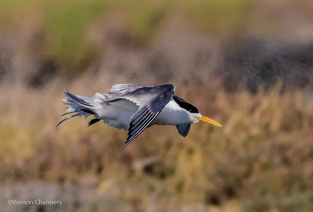 Swift tern in flight : Woodbridge Island, Cape Town Frame 5 / 5  Copyright Vernon Chalmers Photography