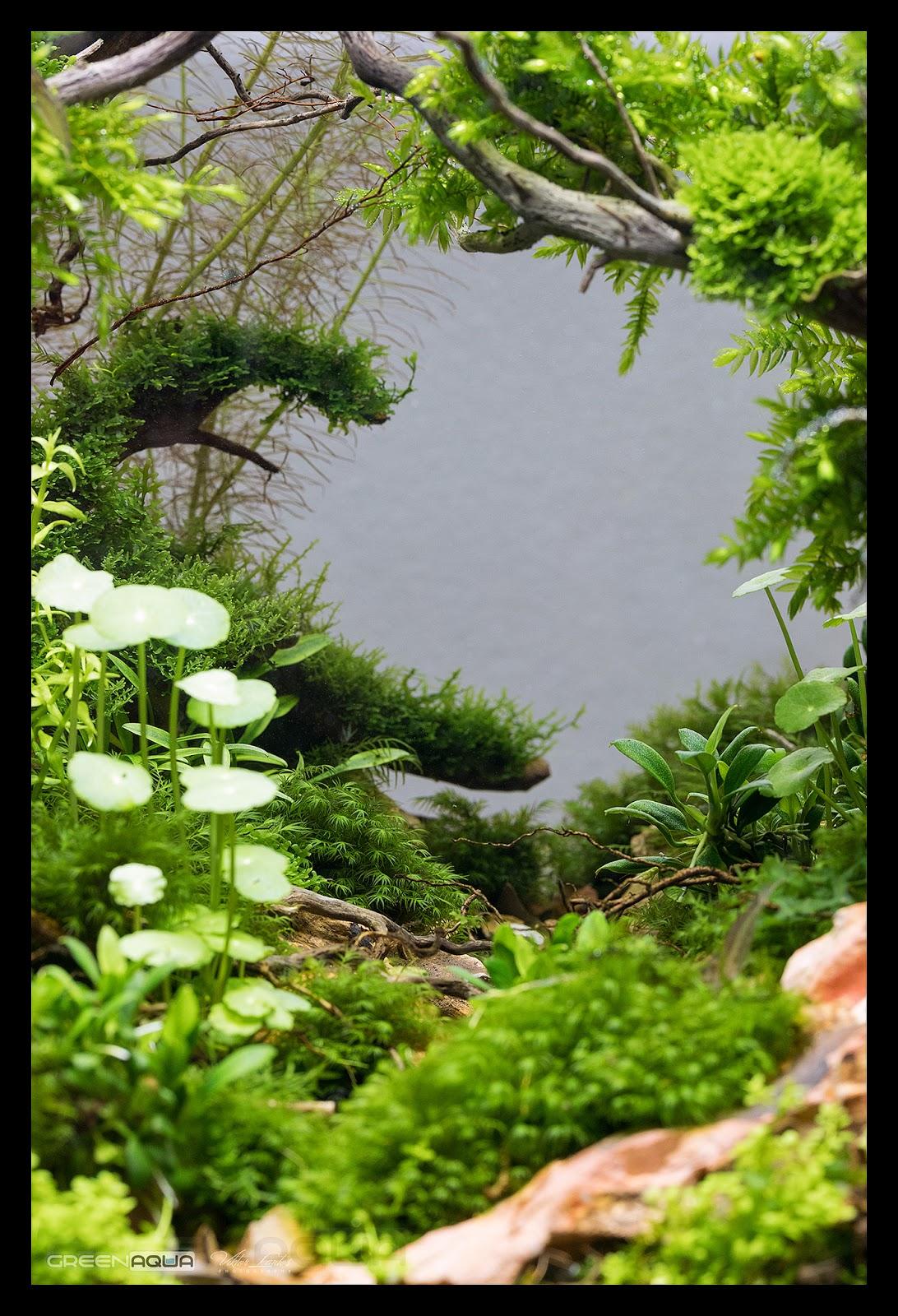 Cận cảnh rêu us fiss trong một hồ thủy sinh