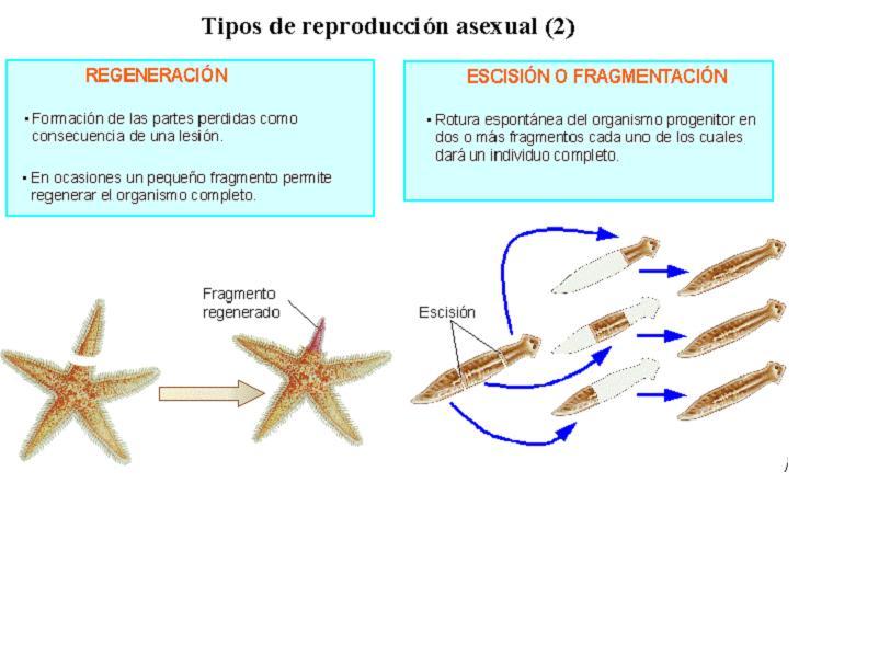 Tipos de reproduccion asexual en vertebrados