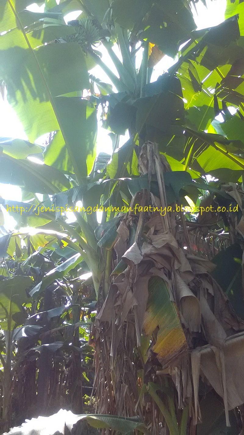 Gambar Pohon Pisang Kepok Putih Mulai Berbuah-Gambar Pisang Kepok Putih