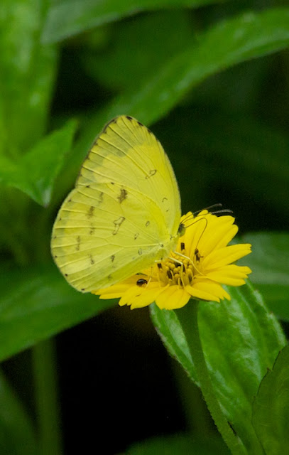 Common Grass Yellow (Eurema hecabe)