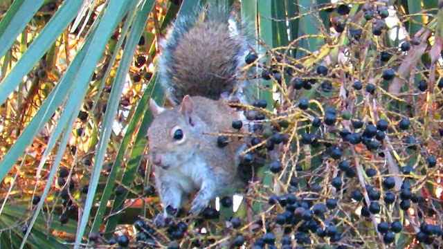 Squirrels Feast on Ripe Palmetto Palm Berries