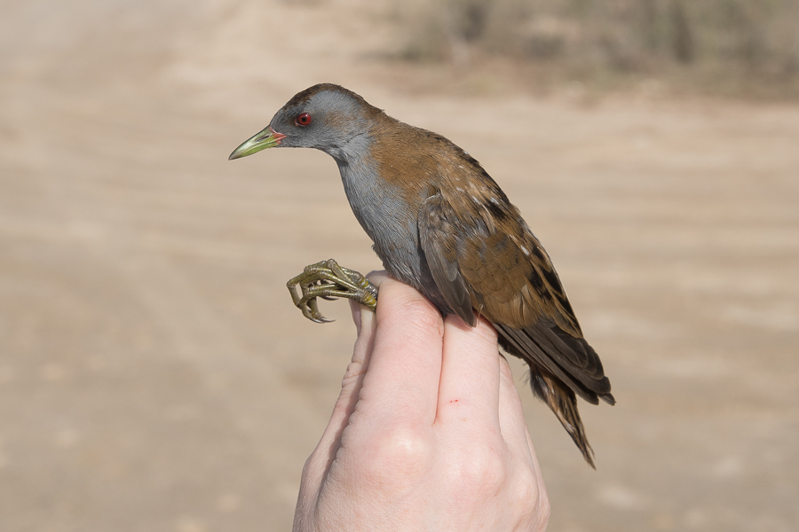 Most Recent New Ringing Species