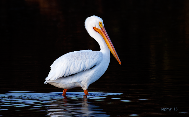 Preserve Pelican - Photograph by Jephyr!  Copyright 2015, All Rights Reserved