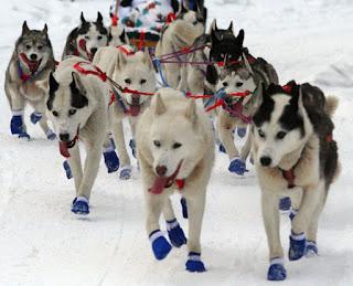 cães do alaska