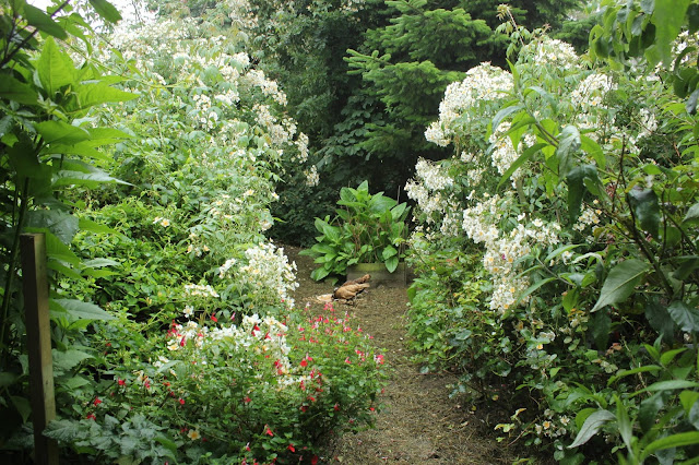 Himalayan climbing roses in an organic forest garden
