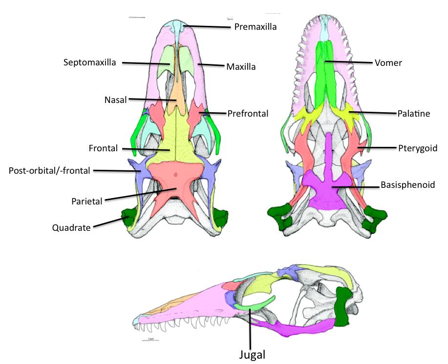 Biology Of The Reptilia  Lab 5  Lepidosauria Part 1
