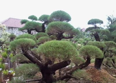 bonsai tree types