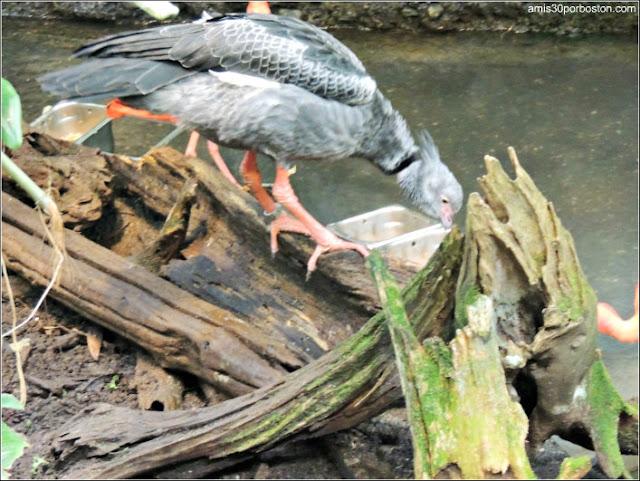 Selva Tropical del Biodôme: Chajá