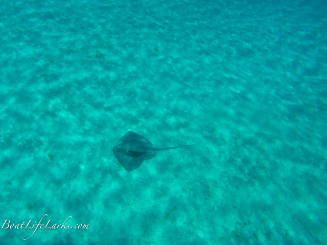Stingray with remora, Cambridge Cay, Exumas