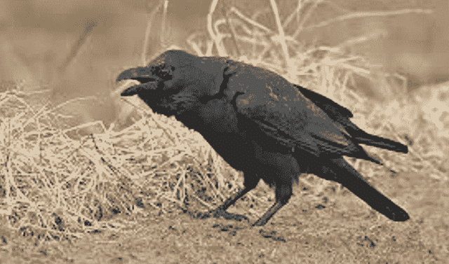 Thirsty_Crow_www.jkanswers.tk