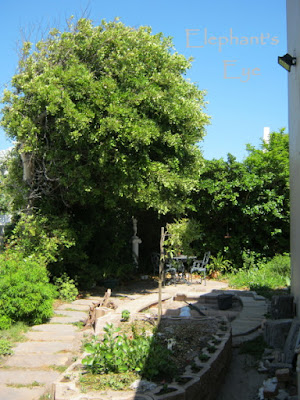Future pond and carob tree Coprosma on the right