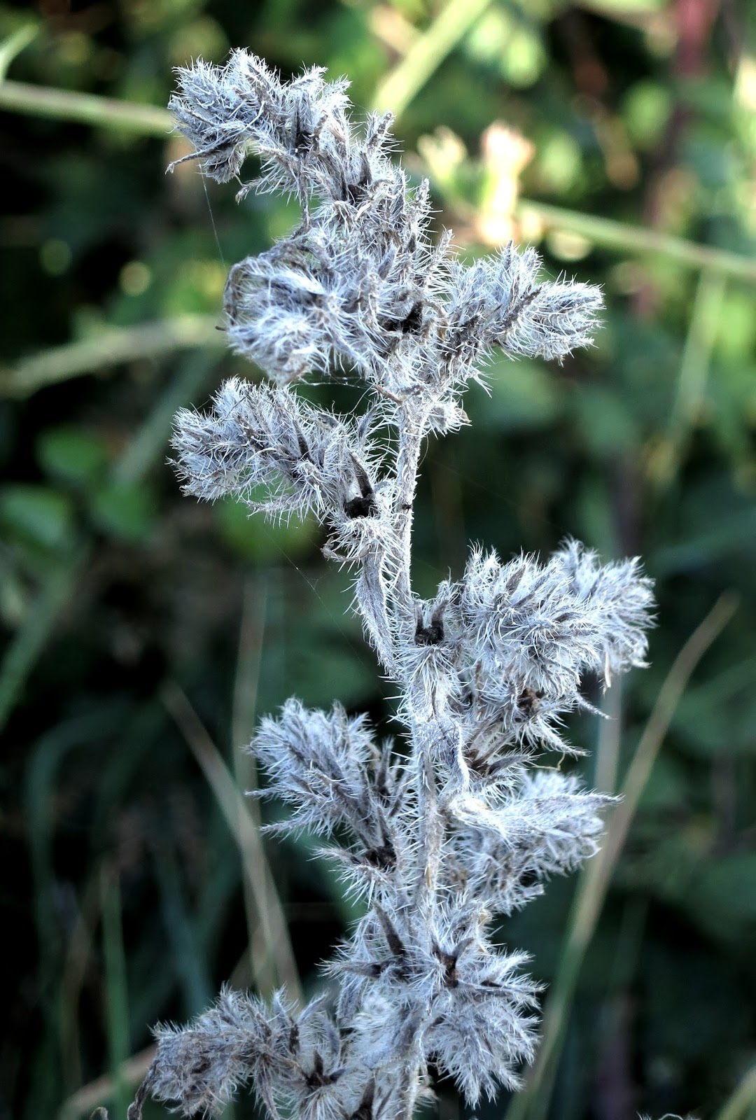 Viper's Bugloss showing how it looks like frost in autumn