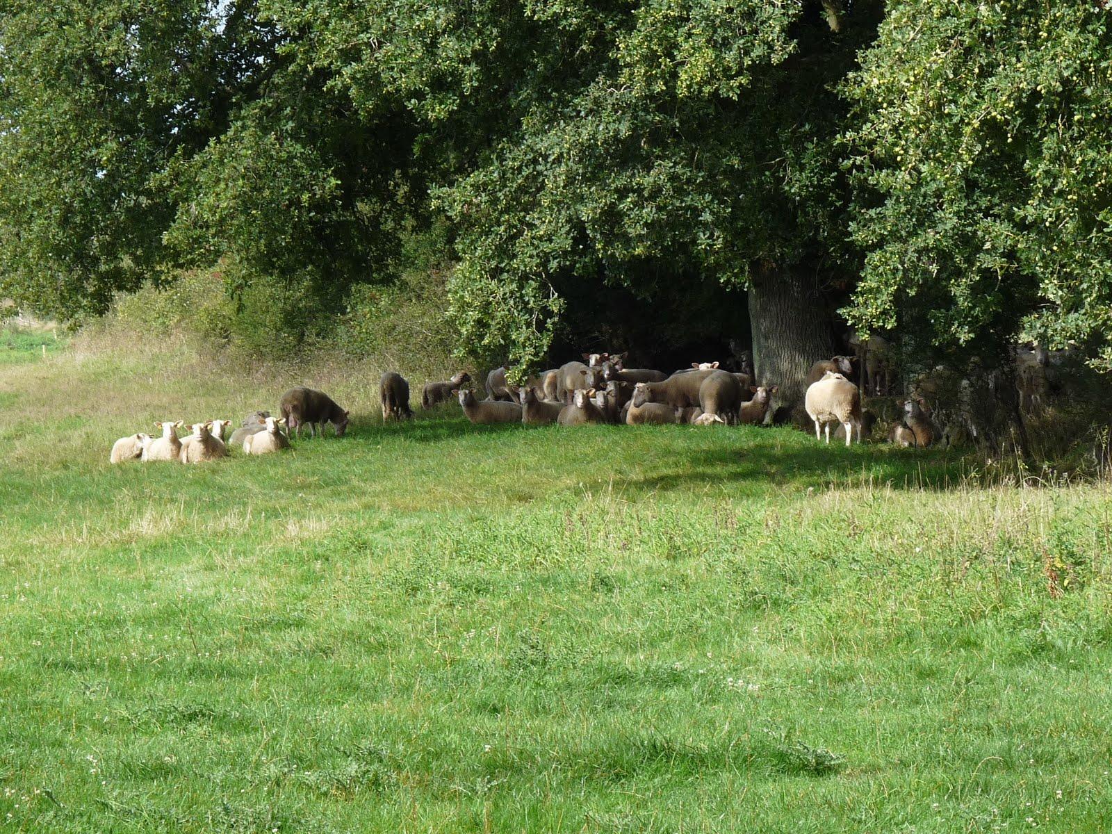 agneau decoupe boucherie