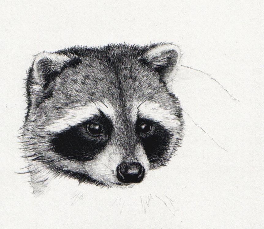 Gillian McMurray: Artist & Craftsperson: Art update Raccoon Drawing