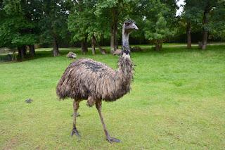¿Que comen los emus?