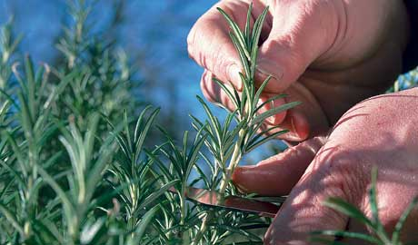 How to take cuttings from rosemary