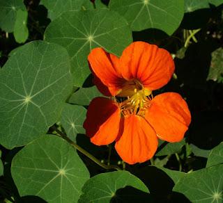 nasturtium flower in growing nasturtium