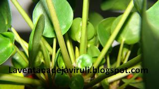 hojas-pilea-peperomioides