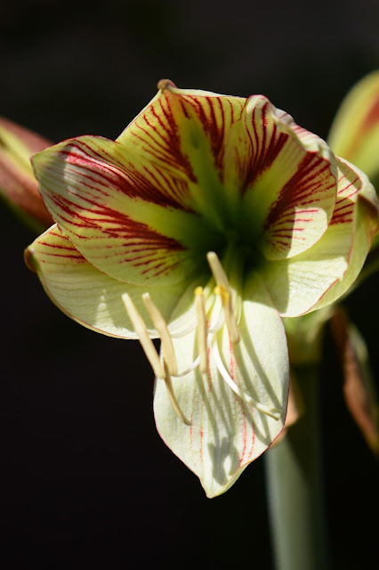 hippeastrum ambiance, amaryllis, small sunny garden, desert garden, garden bloggers bloom day, amy myers