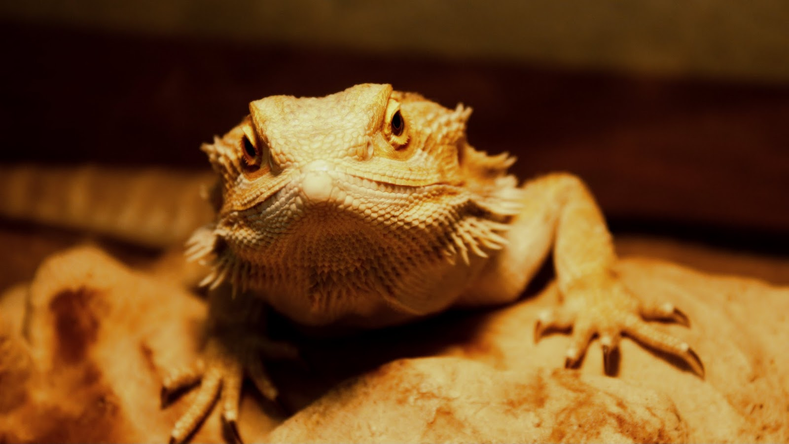 Bearded Dragon Zilla
