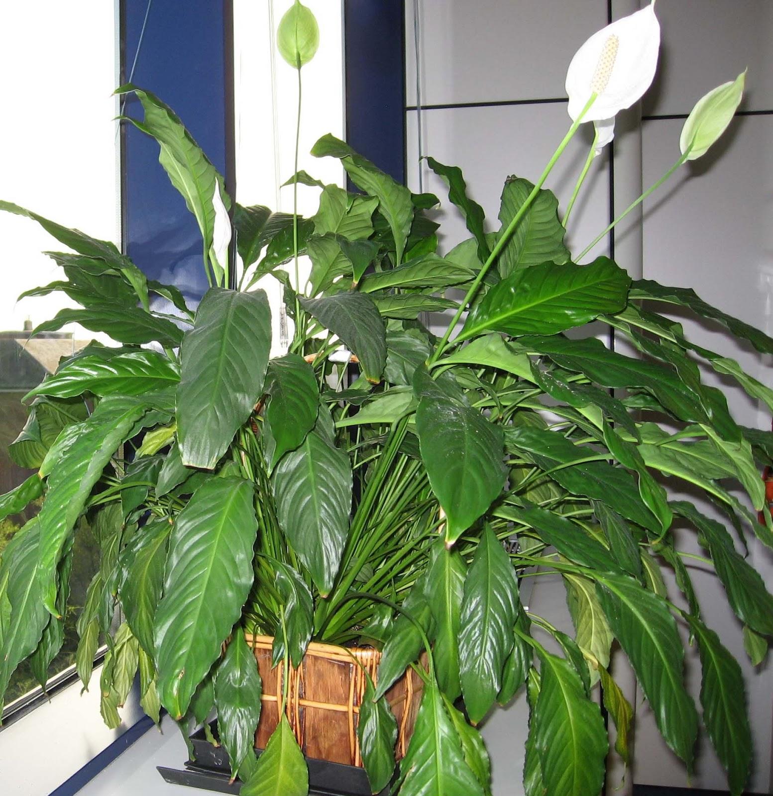 El ocio se salta el muro plantas de interior for Plantas de interior duraderas