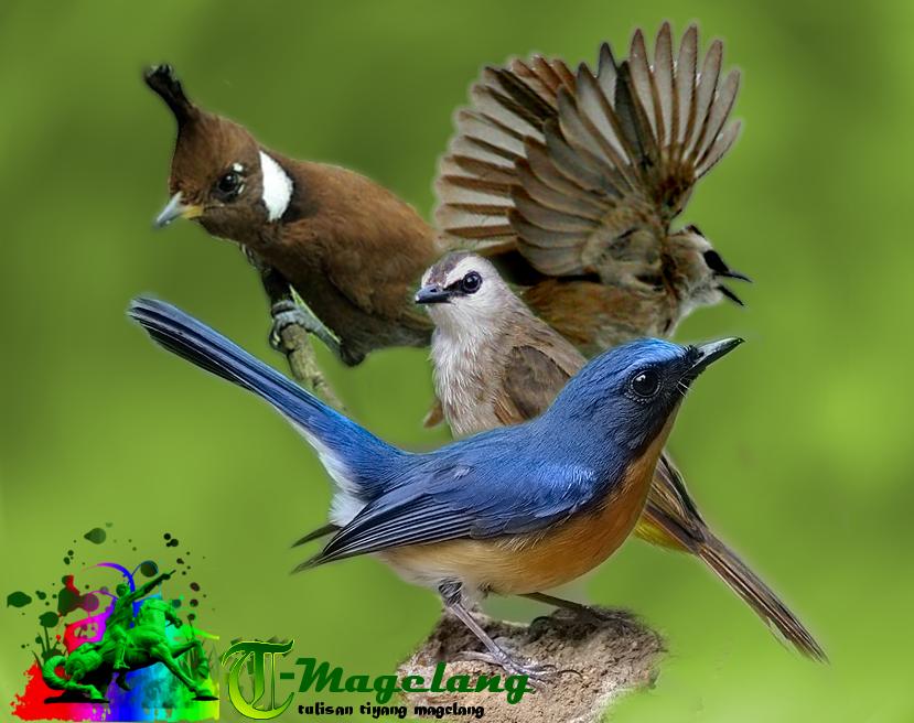 Update mp3 suara burung Cililin,tledekan dan trucukan