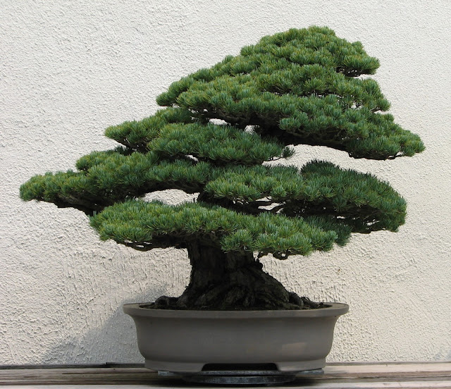 Japanese White Pines (Pinus Paviflora) is one of the striking elements in a garden landscape. Very solid wood and harsh weather resistant. I happen to visit my relatives in downtown, it's always amazing to admire the white pines in their backyard nearby.