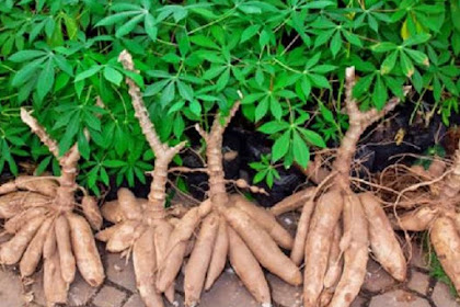 15 Fried Cassava Benefits for Human Health