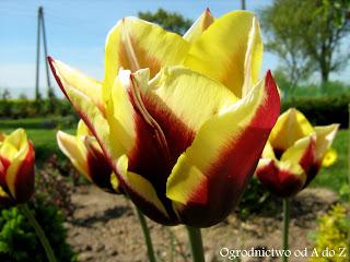 Tulipan Triumph 'Gavota' (Tulipa Triumph 'Gavota')- wygląd, uprawa i pielęgnacja