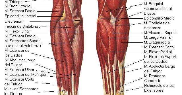 Músculos del Antebrazo | iinmed