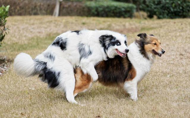 Tìm hiều động dục của chó