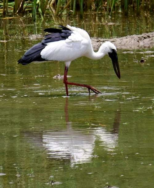 Indian birds - Asian openbill - Anastomus oscitans
